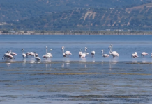 Flamingosi u Albaniji